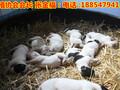 山东大型养狗场出售马犬马犬价格马犬多少钱一只图片