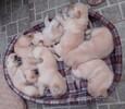 杜高犬价格狼青价格杜高犬养殖
