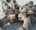 阿根廷杜高犬价格杜高多少钱一只