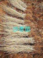 绿瑞沙枣苗子,通化优质沙枣种子供应商图片