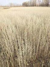 张掖专业从事沙枣种子、沙枣苗子厂家直售沙枣苗子图片