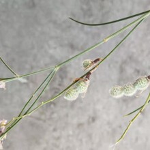 绿瑞花棒苗子,吉林花棒种子价格表图片