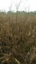 绿瑞梭梭苗子,中卫梭梭种子、梭梭苗子报价图片