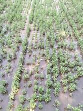 四平专业从事沙枣种子、沙枣苗子报价图片