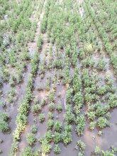 张掖沙枣种子产地直销,2020年新沙枣种子价格信息图片