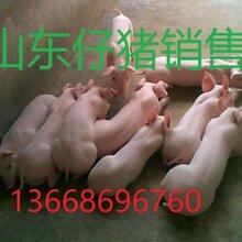 仔猪销售价格全国仔猪批发行情走势图片