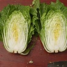 山东今日新鲜白菜价格图片