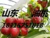 山東藤木蘋果產地蘋果種植基地60以上蘋果產地價格,沂水蘋果代辦