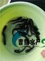 广东杂交鲶鱼种苗,大口鲶鱼苗批发,黄鲶鱼种苗价格优惠图片