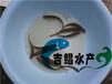 广州大量土鲮鱼种苗,麦鲮鱼苗,泰国鲮鱼苗批发销售健康鱼苗