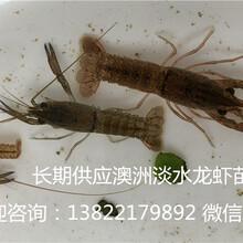 澳洲淡水龍蝦苗澳洲淡水小龍蝦養殖高效率技術圖片