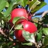 红富士苹果树苗烟富8号苹果苗果面全红冰糖红富士