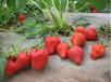 草莓苗销售电话新疆双河市赛娃草莓苗营业钵