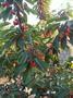 延安市红叶樱桃苗长不快樱桃苗生长徒长枝图片