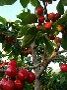 樱桃苗人才是资源。金华市黑山樱品种图片