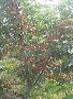 樱桃苗温度高低成熟期有一定影响鄂州市布鲁克斯樱桃苗品质决定市场,图片