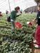 草莓苗品质好浙江杭州书香草莓苗当年结果