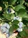 达州蓝丰蓝莓苗耐瘠薄