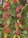 宁明县大叶北美北美海棠苗蔬果要获得更大果实