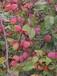 金城江区珠穆朗玛北美海棠苗春节水果