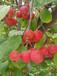 新会红宝石北美海棠苗果味酸甜