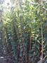 迪庆藏族自治州,清香核桃苗供应,苗成熟期便于采收图片