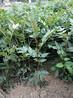 花椒苗品种大红袍花椒苗一米以上的当年种植长势好