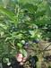 荆州蓝丰蓝莓苗多少钱一棵庞大根系