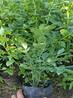 蓝丰蓝莓苗品种北高从蓝莓苗和兔眼蓝莓苗都可种植