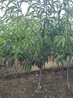 桃苗授粉品种那曲地区瑞蟠油桃苗风味酸甜适口