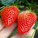 草莓苗亩产万斤云南普洱雪里香草莓苗杏黄