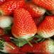 草莓苗大全云南保山紫金四季草莓苗图片