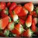 草莓苗图片广东江门晶玉草莓苗盆栽庭院