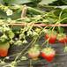 草莓苗偏红新疆克孜勒苏柯尔克孜美香砂草莓苗大局领枣