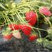 草莓苗苗木脱毒新疆吐鲁番红珍珠草莓苗苗木