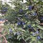 巴中市矮化樱桃苗,苗果园规划图片
