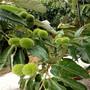 板栗苗嫁接时间随温度改变,三亚市单瓣板栗苗板栗苗冬季虫害图片