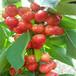 日照斯坦勒樱桃苗上门服务。