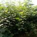 江苏尖顶柿柿子苗果肉脆肉质果