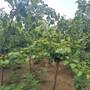 杏苗病虫害长沙市单瓣杏苗图片