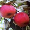 矮化苹果苗红富士苹果苗新品种烟富6号颜色全红口感好