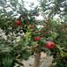 苹果苗露水干后定西市苹果苗销路