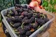 果桑苗平均单果400克广安区果桑苗存圃量