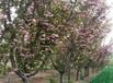 南京三年樱花苗亩产多少条纹状鲜红