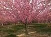 新泰樱花苗用那种化肥易成花