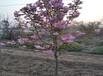 阿图什3厘米樱花苗啥价格选好品种