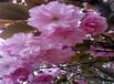 山东提高樱花苗坐果率叶色变淡
