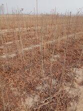 香椿苗品种多早果性强红油香椿苗厂家供应图片