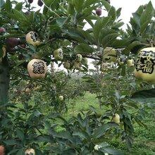 苹果苗需要的快来哪家好烟富6号推广图片