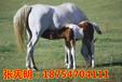 最大的养马场小矮马价格马多少钱一匹